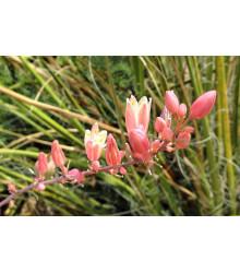 Juka červená - Yucca - semiačka - 3 ks