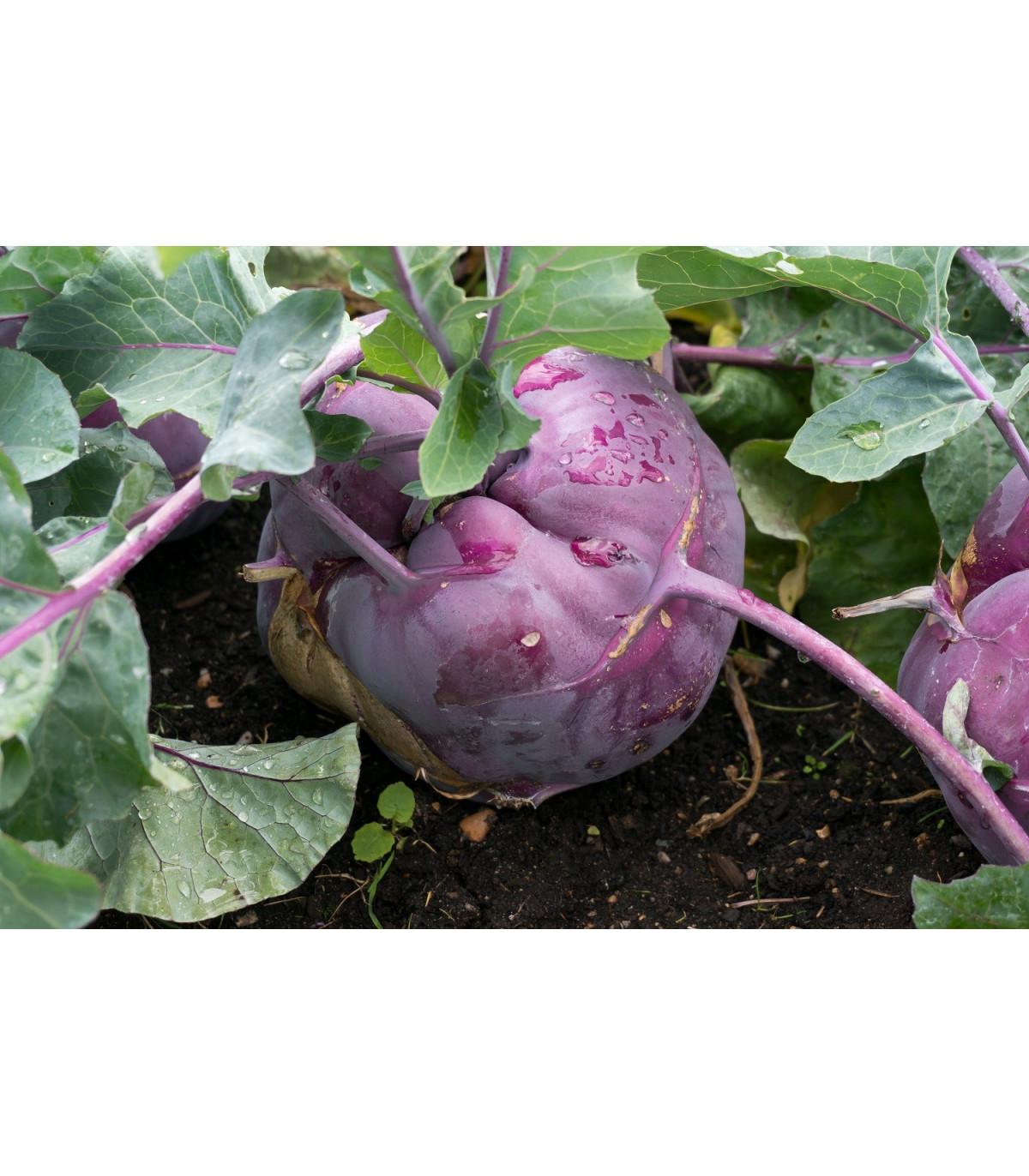 Kaleráb skorý modrý - Brassica oleracea - semiačka - 50 ks
