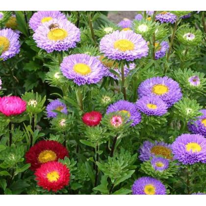 Astra čínská - Serenade zmes farieb - Callistephus chinensis - semená astry - 0,2 gr