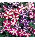 Petúnia nízka Stars mix - Petunia nana compacta - predaj semien petúnie - 20 ks
