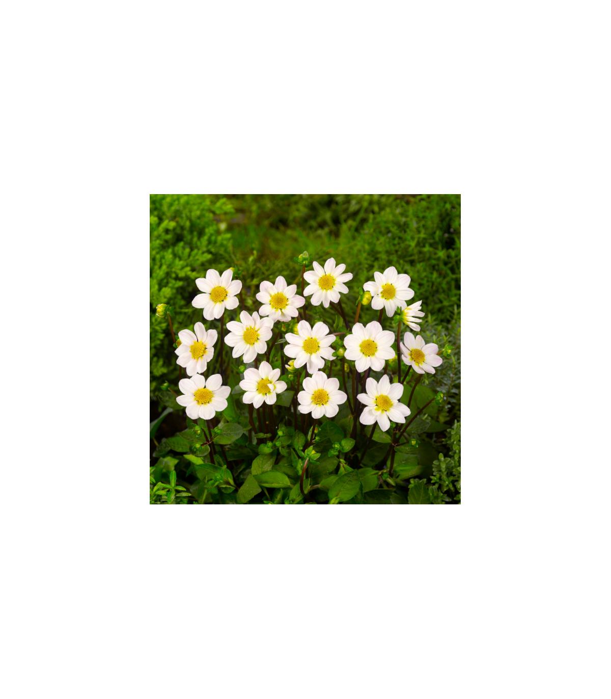 Georgína topmix - biela - cibuľky - 1 ks