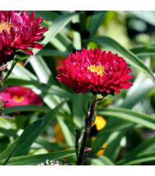 Astra čínska fialová Gerda - Callistephus chinensis - semienka - 150 ks