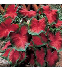 Kaládium Freida Hemple - Caladium bicolor - cibuľky kaládia - 1 ks