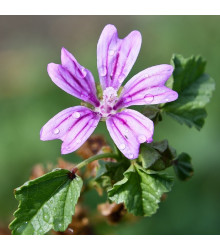 Slez lesný - Malva sylvestris - semienka slezu - 10 ks