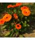 Nechtík lekársky Neon - Calendula officinalis - semienka - 40 ks